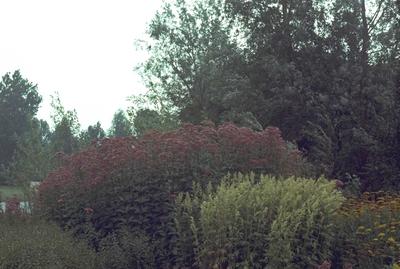 Koninginnenkruid - Eupatorium maculatum 'Glutball'