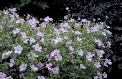 Ooievaarsbek - Geranium x oxonianum 'Rebecca Moss'