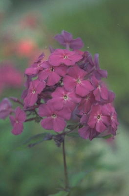 Flox - Phlox 'The King'