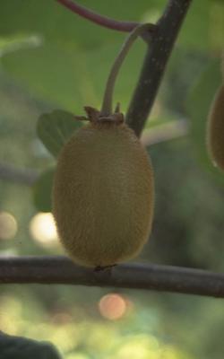 Kiwi - Actinidia deliciosa 'Buitenpost'