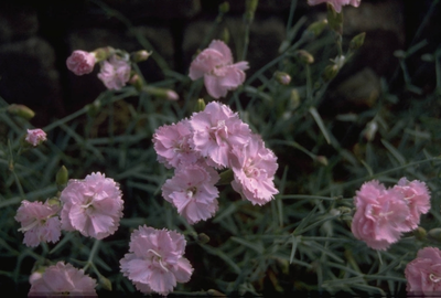 Anjer - Dianthus 'Duchess of Fife'