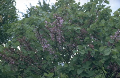 Judasboom - Cercis siliquastrum