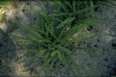 Wijfjesvaren - Athyrium filix-femina 'Frizelliae'