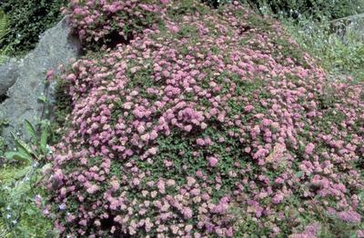Spierstruik - Spiraea japonica 'Bullata'