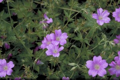 Ooievaarsbek - Geranium x oxonianum 'Summer Surprise'