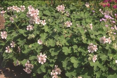 Ooievaarsbek - Geranium renardii