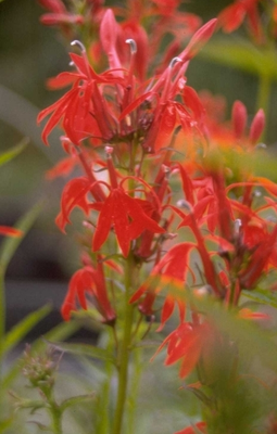 ScharlakenLobelia - Lobelia cardinalis