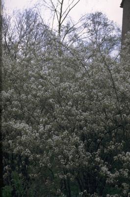 Amerikaans krentenboompje - Amelanchier lamarckii