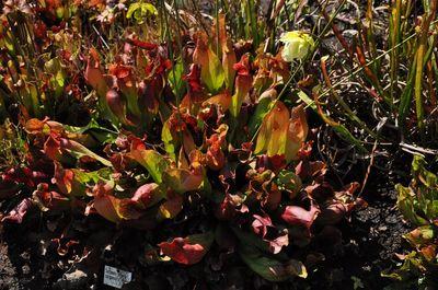Trompetbekerplant - 'Sarracenia purpurea'