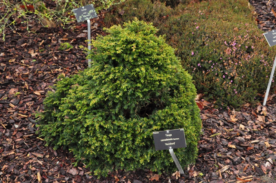 Tsuga Canadensis 'Horsford'