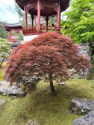 Japanse Esdoorn - Acer palmatum 'Dissectum Garnet'