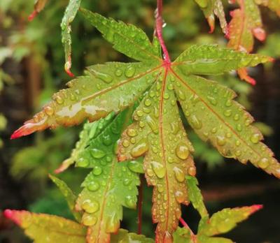 Japanse Esdoorn - Acer palmatum 'Sangokaku'