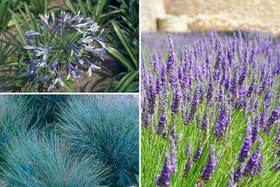 Borderplan Ada - Mediterrane tuinplanten borderpakket - Vaste planten & Siergrassen - Blauw & paars - Zon