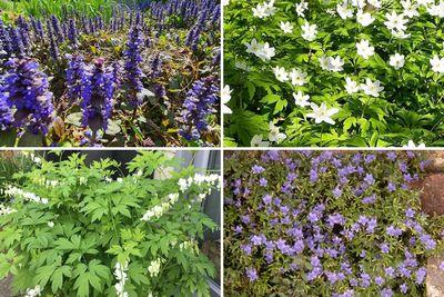 Borderplan Annet - Vaste planten borderpakket - vroegbloeiende tuinplanten - Blauw & Wit - Halfschaduw