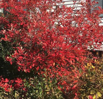 Appelbes - Aronia arbutifolia