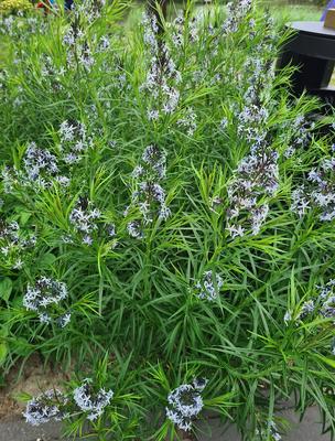Blauwe ster - Amsonia tabernaemontana