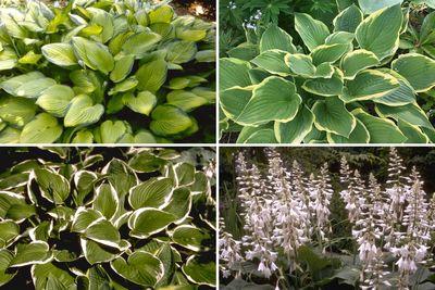 Borderplan Daan - Hosta borderpakket - Bijzondere schaduwplanten