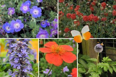 Borderplan Feline - Vaste planten borderpakket - Vlindertuin - Oranje & blauw - Zon