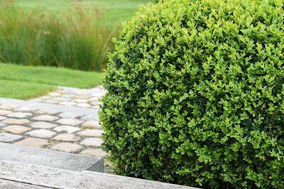 Palmboompje - Buxus sempervirens 'Bol'