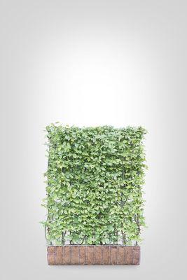 Haagbeuk scherm (M) - 155h x 120b - Trellis + Carpinus Betulus (kant en klaar)