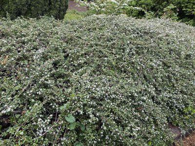 Dwergmispel - Cotoneaster atropurpureus 'Variegata'