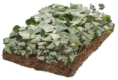 Klimop - Hedera plantenmat bordermatten - zon/halfschaduw/schaduw - 57 x 38