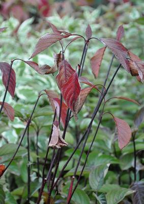 Brem - Cytisus 'Boskoop Ruby'