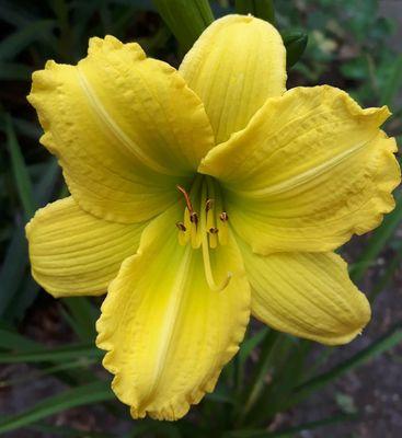 Daglelie - Hemerocallis 'Green Flutter'