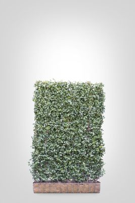 Euonymus scherm (M) - 180 cm hoog x 120 cm breed - Trellis + Euonymus haag (kant en klaar)