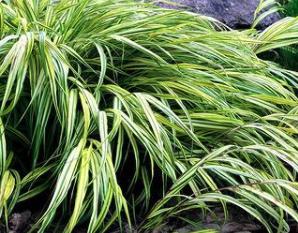 Japans siergras - Hakonechloa macra 'Allgold'