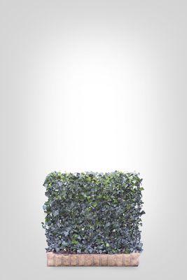 Hedera scherm (S) - 100h x 120b - Trellis + Hedera klimop haag (kant en klaar)