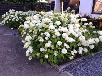 Hortensia - Hydrangea arborescens 'Annabelle'