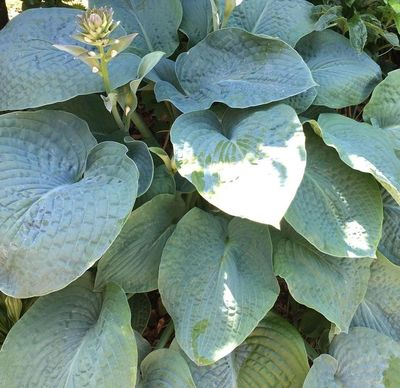 Hartlelie - Hosta 'Big Daddy'