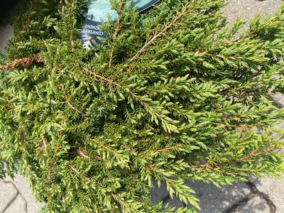 Jeneverbes - Juniperus communis 'Green Carpet'