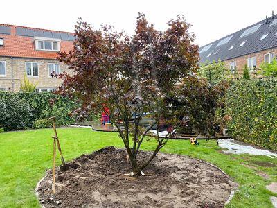 Borderplan Shogo - Japanse esdoorn 'Acer palmatum Fireglow' in verschillende maten - borderpakket boom