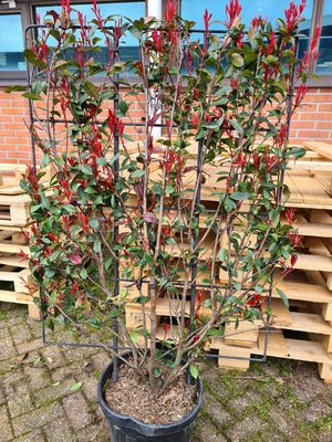 Glansmispel - Photinia fraseri 'Red Robin Compacta' kant en klaar haag
