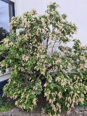 Rotsheide - Pieris japonica