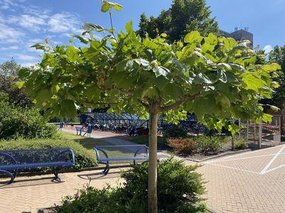 Dak-plataan - Platanus x acerifolia