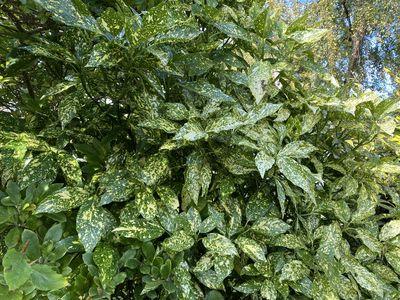 Broodboom - Aucuba japonica 'Angelon'
