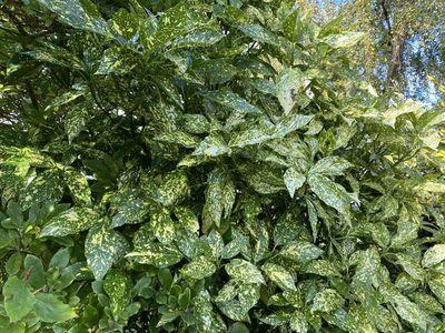 Broodboom - Aucuba japonica 'Variegata'