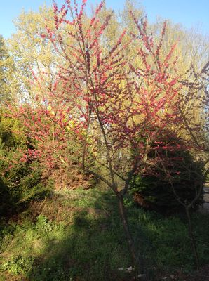 """Perzik - Prunus persica """"Melred"""""""