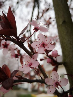 Japanse sierkers - Prunus serrulata 'Amanogawa'