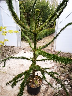 Slangenden - Araucaria araucana