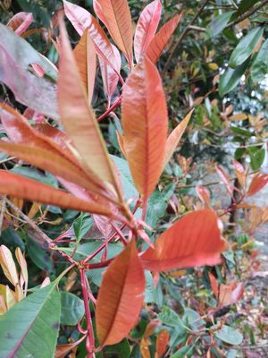 Glansmispel - Photinia x fraseri 'Red Robin'