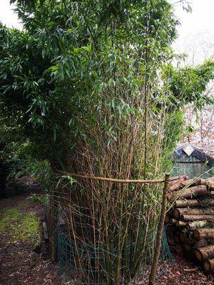 Bamboe - Bambusa