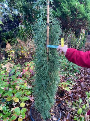 Mammoetboom - Sequoiadendron giganteum 'Pendulum'