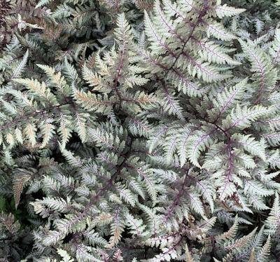Japanse regenboogvaren - Athyrium niponicum 'Pictum'