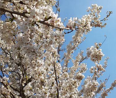 Japanse sierkers - Prunus serrulata 'Taihaku'