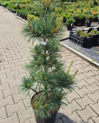 Koreaanse den - Pinus koraiensis 'Silveray'