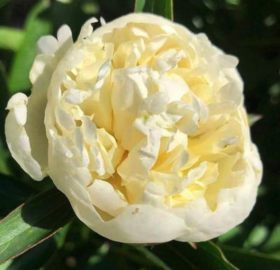 Pioenroos - Paeonia (LD) 'Duchesse de Nemours'